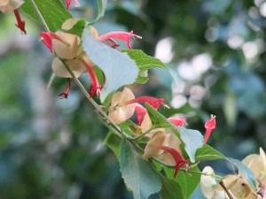 Chinese hat/ チャイニーズハット 咲いている花の様子