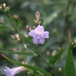 Goldfussia/ ストロビランテス・アニソフィルス 花の様子