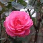 Modern garden rose/ Aromatherapy  アロマテラピー 花の様子