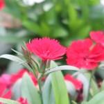 Dianthus ナデシコ属 花の姿