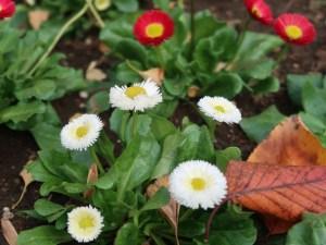 Daisy/ ヒナギク 花の咲いている様子