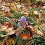 Algerian iris/ カンアヤメ 花の咲いている様子