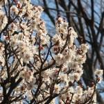 Japanese apricot/ ウメ 花の咲く様子 品種 冬至