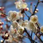 Japanese apricot/ ウメ 花の姿 品種 南高