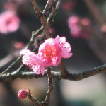 Japanese apricot/ ウメ 花の姿 品種 新平家