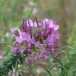Spider flower/ セイヨウフウチョウソウ 花の姿 (紫花)