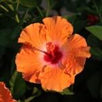 Chinese hibiscus/ ブッソウゲ 花の姿