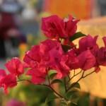 Bougainvillea/ ブーゲンビリア 花の姿