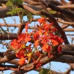 Flame tree/ ホウオウボク 花の咲いている様子