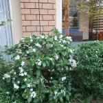 Arabian jasmine マツリカ 花の咲いている様子