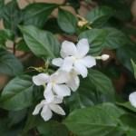Arabian jasmine マツリカ 花の様子