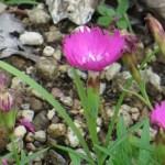 Dianthus ナデシコ属 四季咲きナデシコ 花の姿