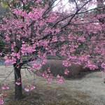 リュウキュウヒカンザクラ 花の咲いている様子