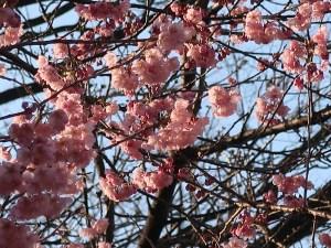 ツバキカンザクラ 花の咲いている様子