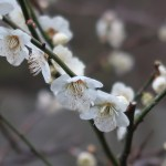 Japanese apricot/ ウメ 花の姿 品種 白加賀