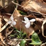 ナガハノスミレサイシン 花の咲いている様子