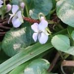 アオイスミレ 花の様子