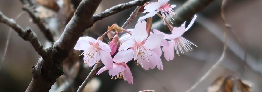 Cherry var. Hinazakura/ ヒナザクラ