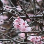 Cherry var. Hinazakura/ ヒナザクラ 花の様子