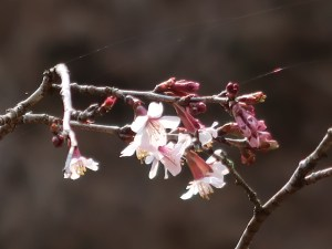 Cherry var. Kinkimamezakura/ キンキマメザクラ