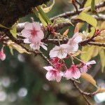 Cherry var. Atamizakura/ アタミザクラ 終わり近い花の姿