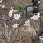 Chinese sour cherry/ カラミザクラ 花の様子