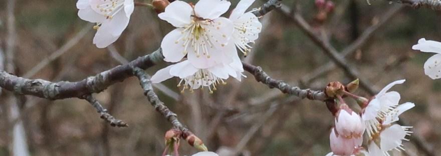 Chinese sour cherry/ カラミザクラ