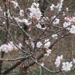 Chinese sour cherry/ カラミザクラ 花の咲いている様子