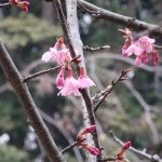 Cherry var.Okame/ オカメザクラ 咲き始めの花の様子