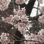 Cherry var. Tsubakikanzakura/ ツバキカンザクラ 満開を過ぎた花の姿