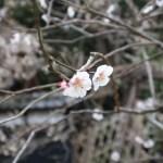 Japanese apricot/ ウメ 花の咲いている様子 品種 滄溟の月