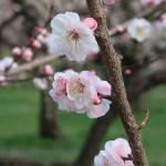 Japanese apricot/ ウメ 花の姿 品種 内裏