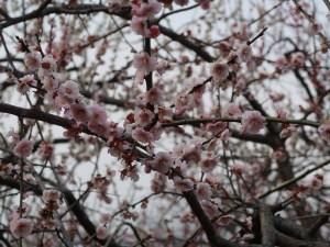 Japanese apricot/ ウメ 花の咲いている様子 品種 藤牡丹枝垂