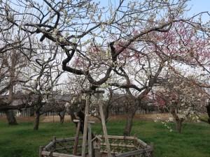 Japanese apricot/ ウメ 花の咲いている様子 品種 月影