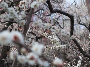 Japanese apricot/ ウメ 花の咲いている様子 品種 座論