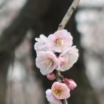 Japanese apricot/ ウメ 花の姿 品種 見驚