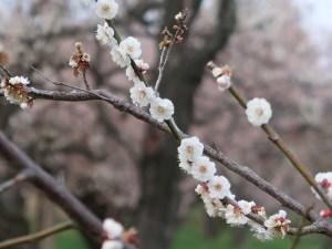 Japanese apricot/ ウメ 花の咲いている様子 品種 虎の尾
