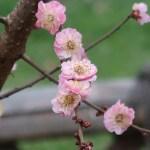 Japanese apricot/ ウメ 花の咲いている様子 品種 江南所無