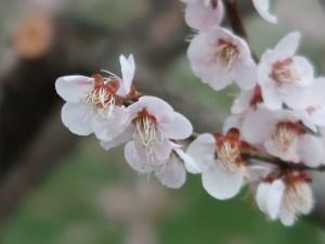 Japanese apricot/ ウメ 花の姿 品種 養老