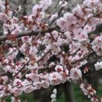Japanese apricot/ ウメ 花の咲いている様子 品種 一流