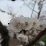Japanese apricot/ ウメ 花の姿 品種 思いのまま 輪違い