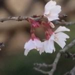 二季咲桜 ジュウガツザクラの近縁と思われる