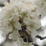 Japanese plum/ スモモ 花の姿