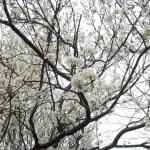 Japanese plum/ スモモ 花の咲いている様子