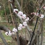 Apricot/ アンズ 花の様子