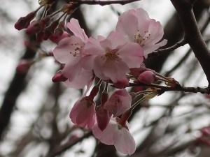 Cherry var. Komatsu-otome/ コマツオトメ
