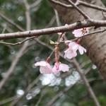 Cherry var. Komatsu-otome/ コマツオトメ 花の様子
