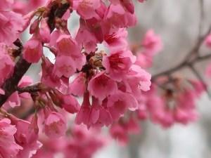 Cherry var. Hikanzakura/ ヒカンザクラ 花の様子