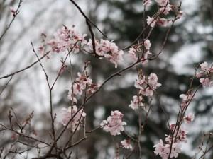 Cherry var. Kohigan/ コヒガン 花の咲いている様子