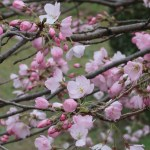 Cherry var. Jindai-akebono ジンダイアケボノ 花の咲いている様子